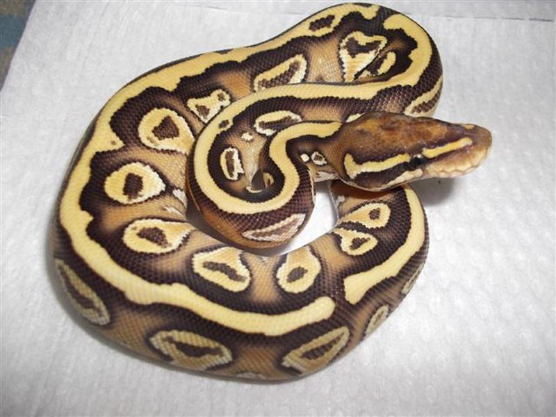 Aurora Lesser Yellow Belly