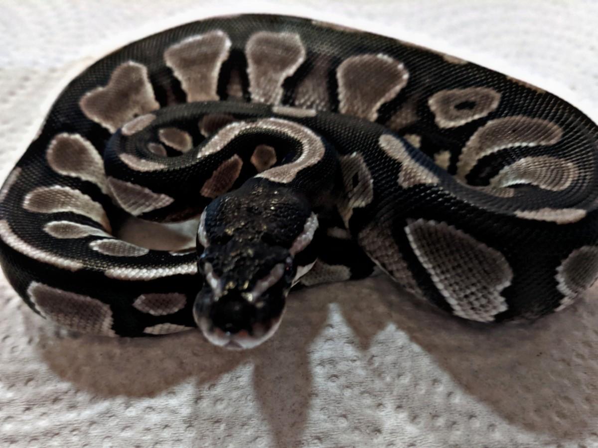 Axanthic Black Head