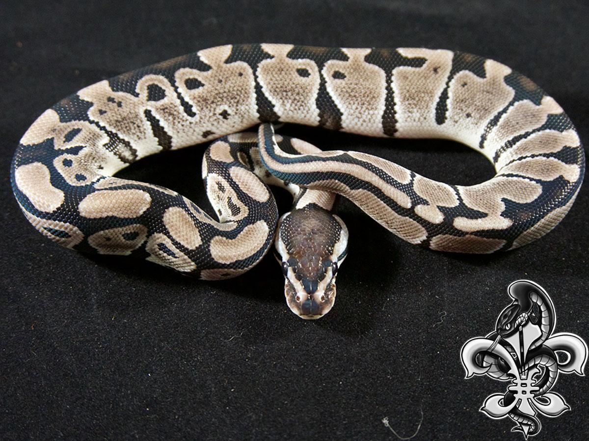 Axanthic Blade - Snake Keeper Line
