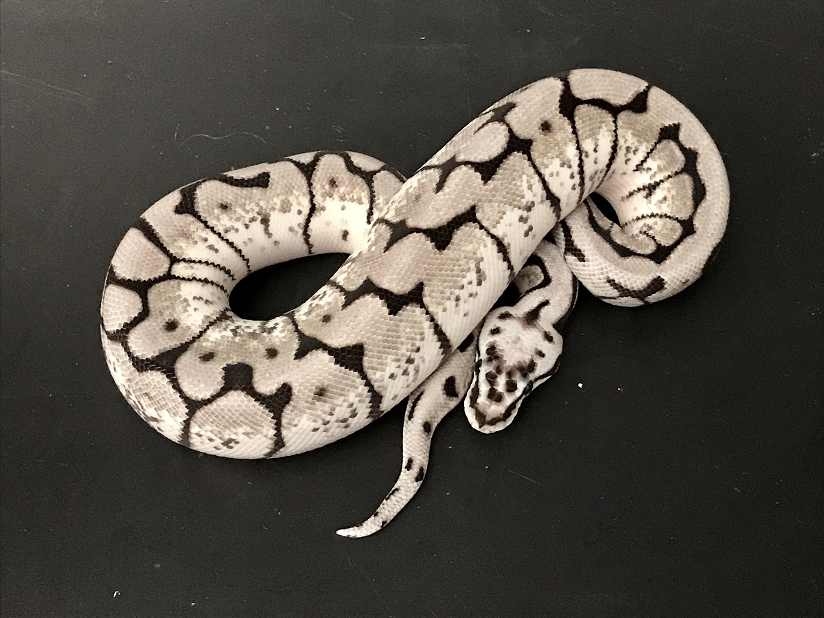 Axanthic Bumble Bee - The Snake Keeper Line