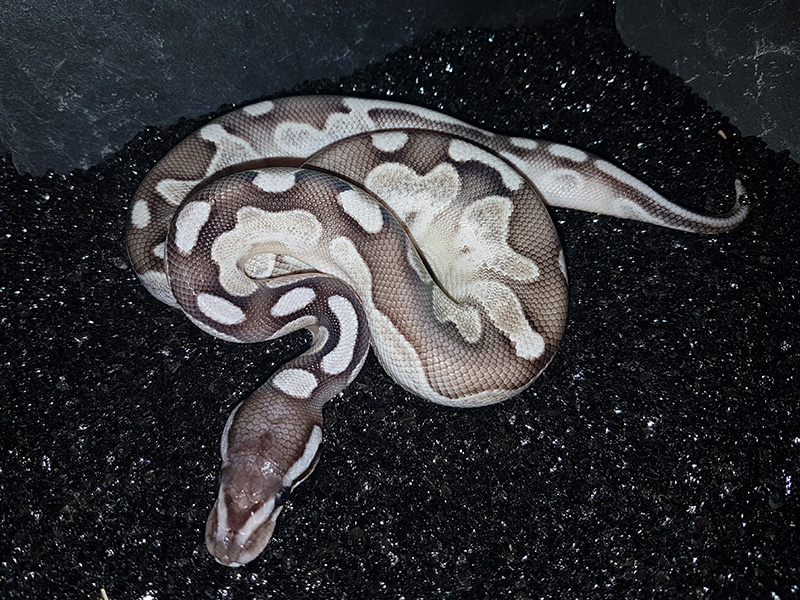 Axanthic Calico Lesser - Snake Keeper Line