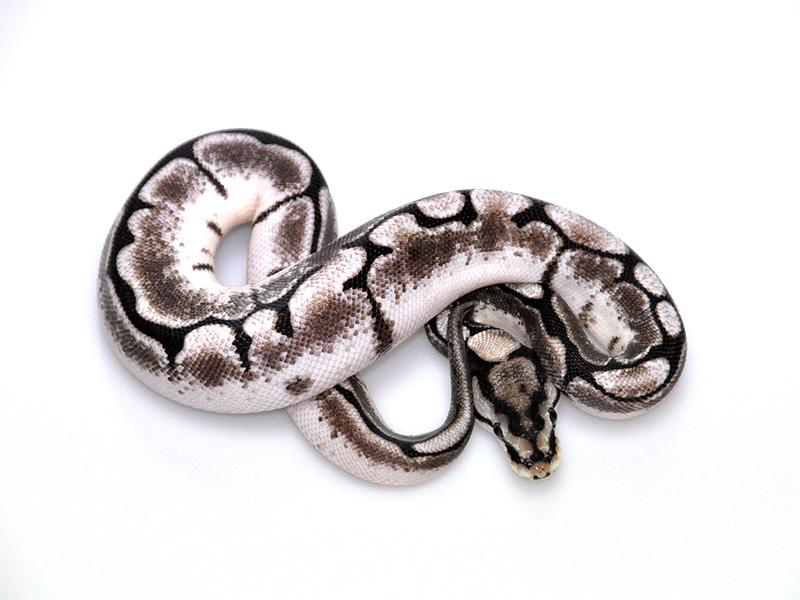 Disco Fire Spider - Morph List - World of Ball Pythons