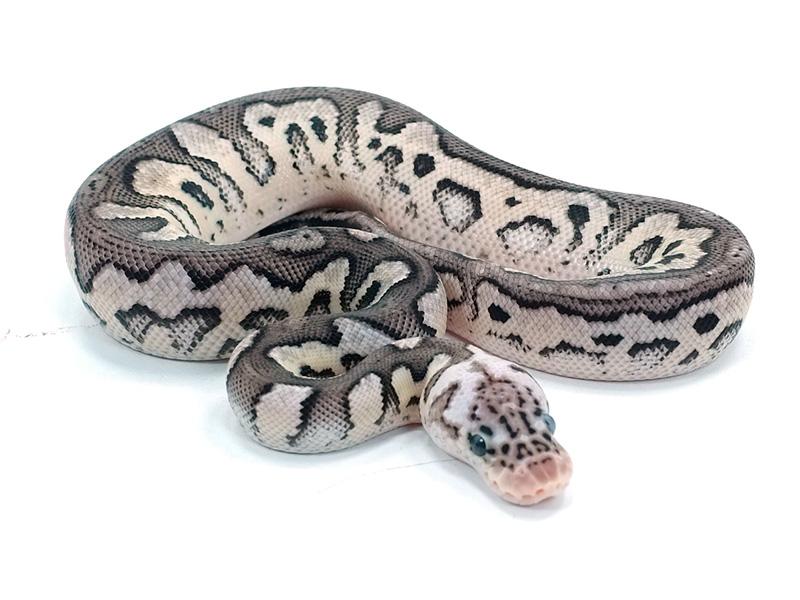 Pied clown ball python - photo#42
