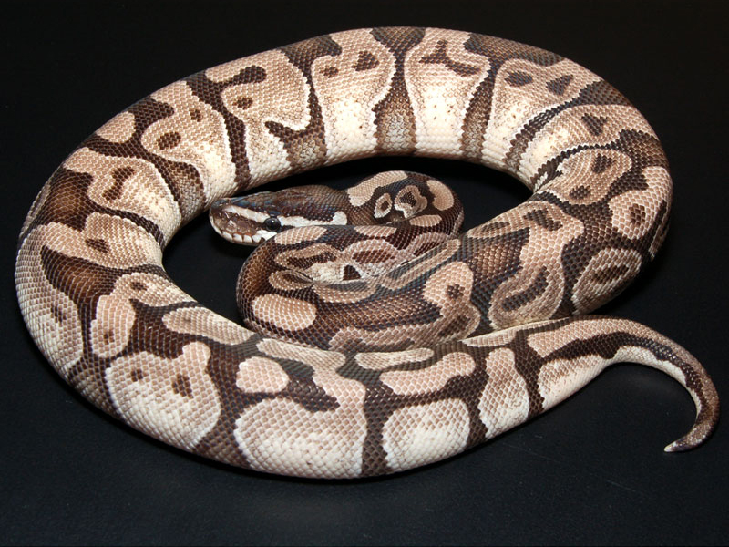 Axanthic Enchi - VPI Line - Morph List - World of Ball Pythons