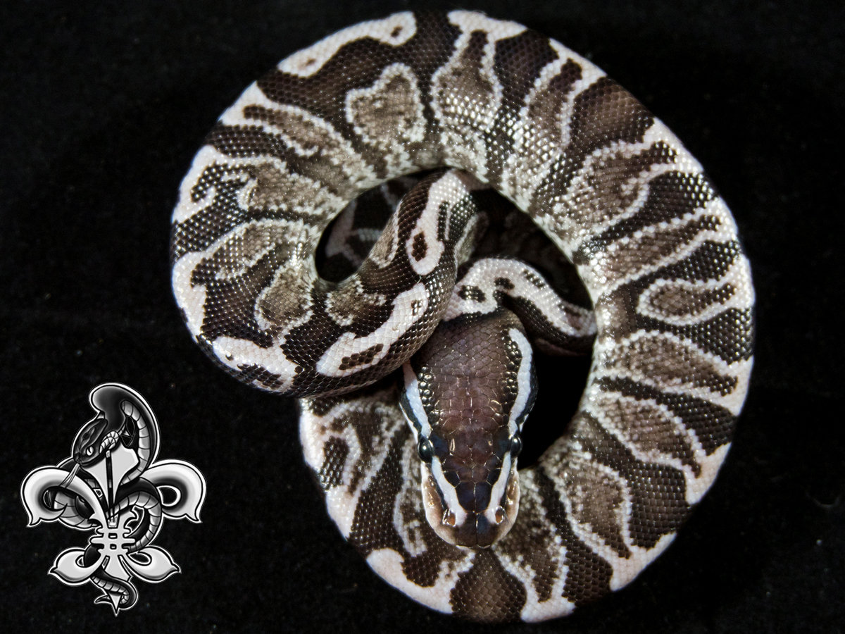 Axanthic Fire Ghi - Snake Keeper Line