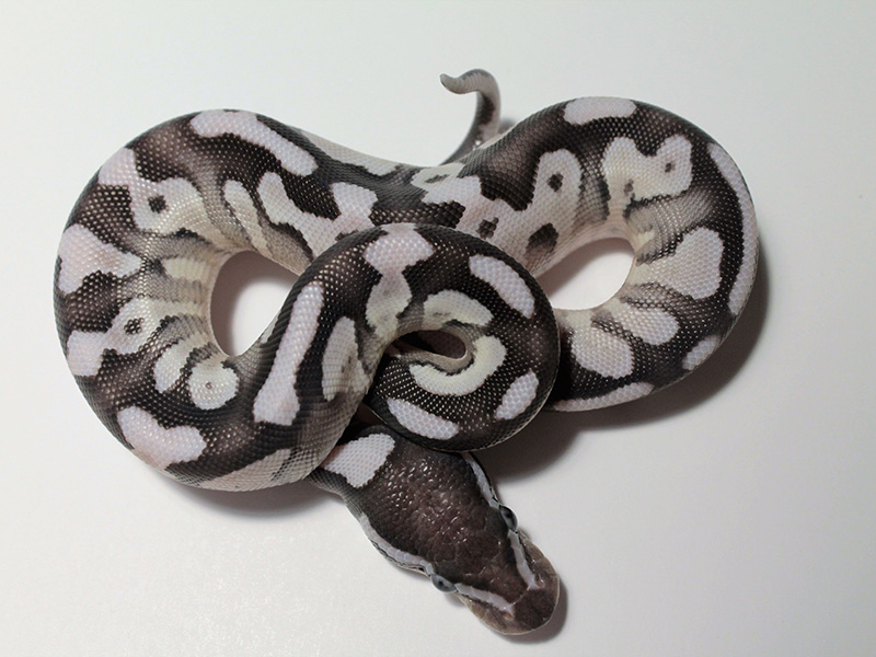 Axanthic Fire Mojave - VPI Line
