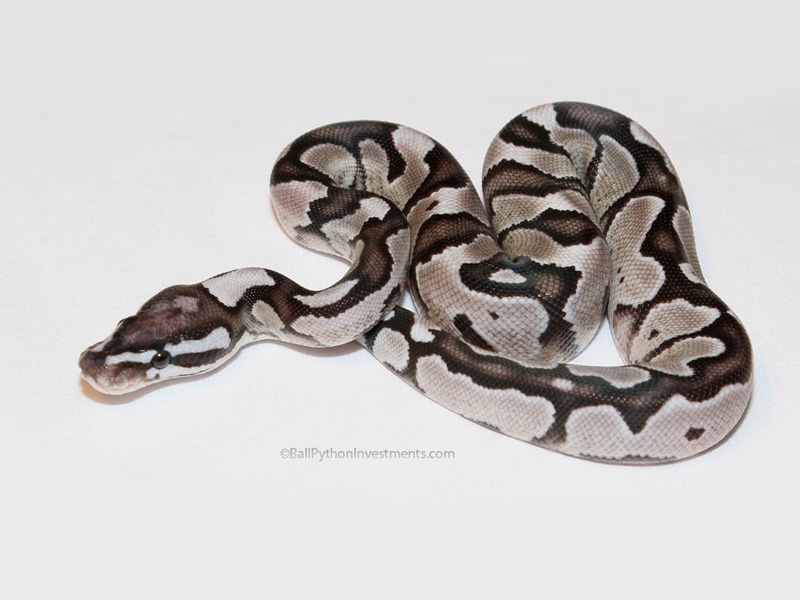 Axanthic Fire VPI Line - Morph List - World of Ball Pythons