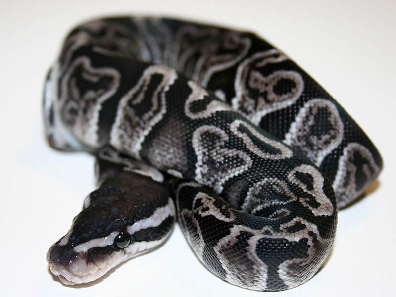 Axanthic Ghi - Snake Keeper Line