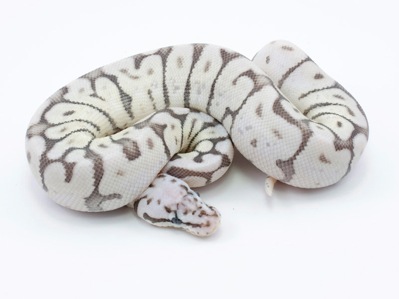 killer bee axanthic ball python Quotes