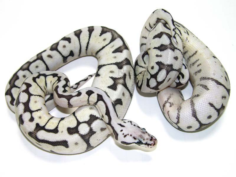 Black and White Snakes - Page 3 - Reptile Forums