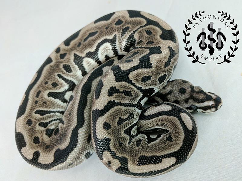 Axanthic Leopard Spotnose - VPI Line - Morph List - World of