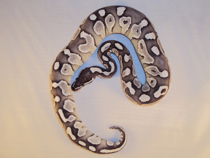 Axanthic Lesser - Morph List - World of Ball Pythons