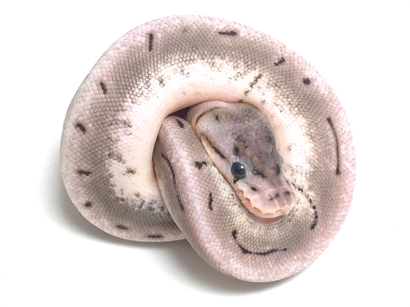 Axanthic Spinner - Snake Keeper Line