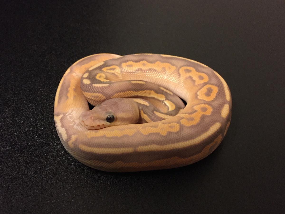 Banana Black Pastel Mojave