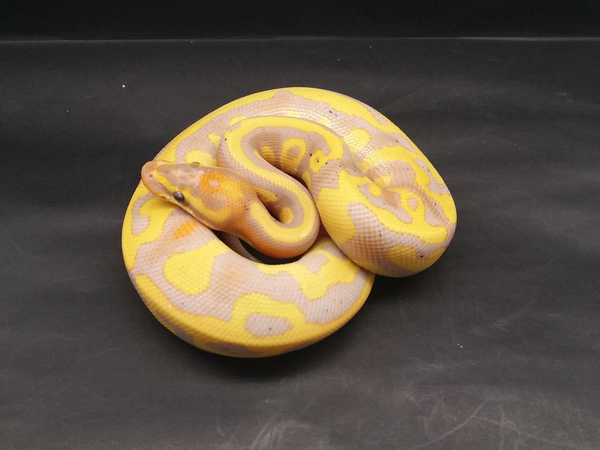 Banana Ball Enchi Leopard Ball