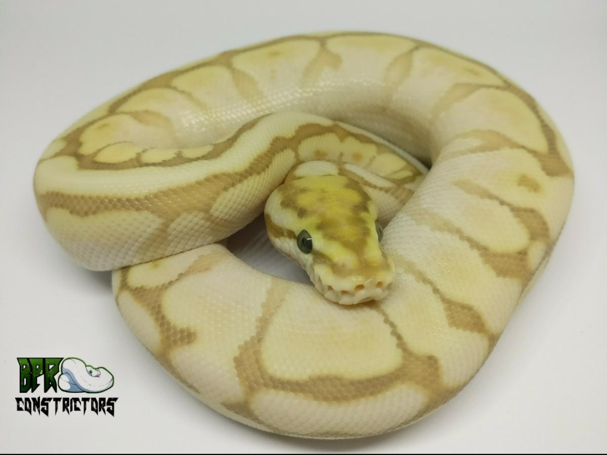 Banana Lesser Spider