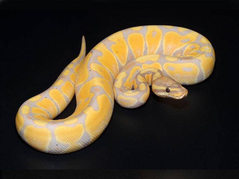pink ball python