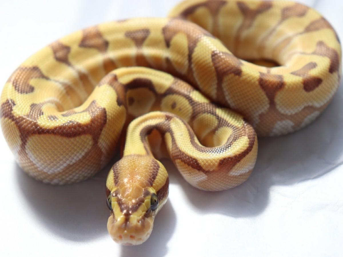 Banana Black Pastel Enchi Lesser