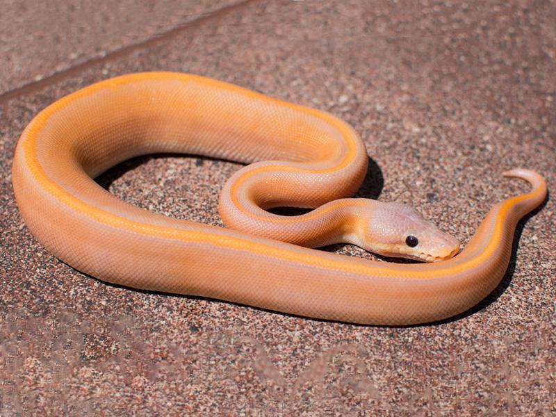 Banana Black Pastel Genetic Stripe Morph List World Of Ball Pythons