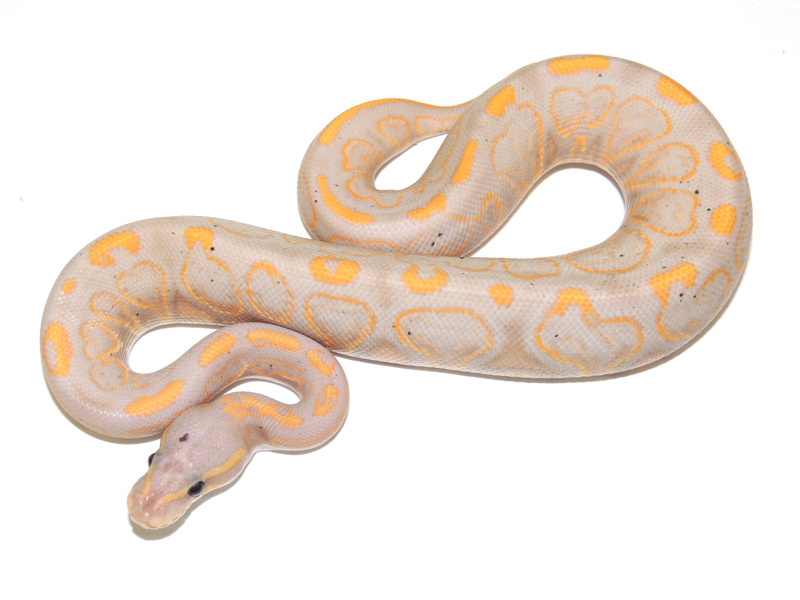 Banana Black Pastel Yellow Belly Morph List World Of Ball Pythons