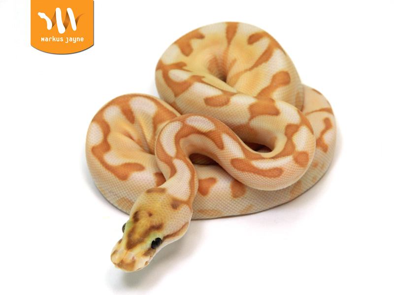 Banana spider ball python - photo#20