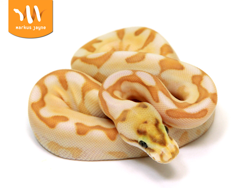 Banana spider ball python - photo#28