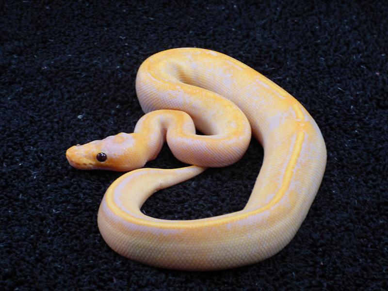 Banana Champagne Enchi Pastel