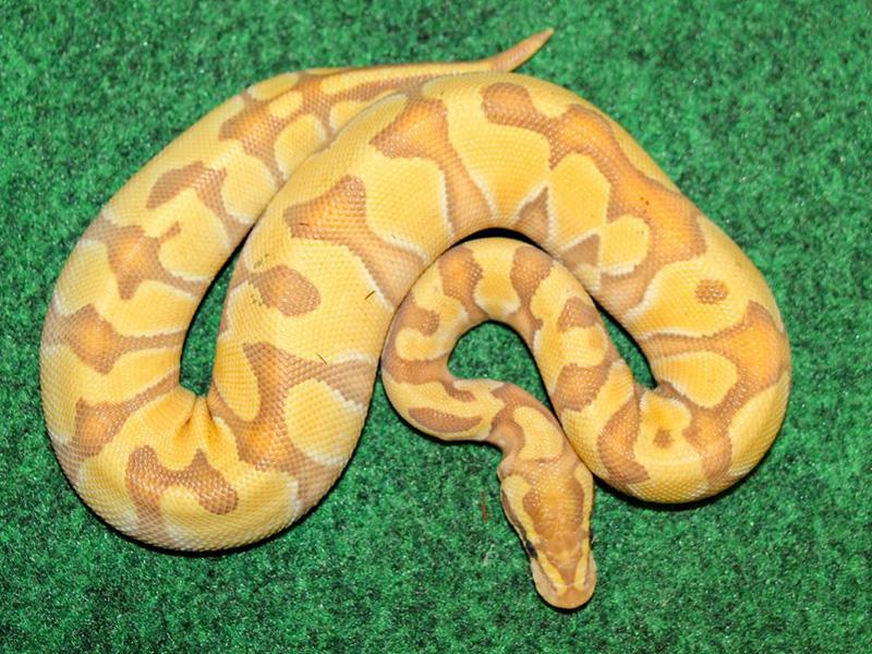 Banana Enchi Butter