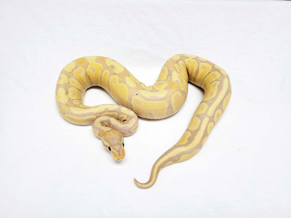 Banana Fire - Lone Star Reptiles Line