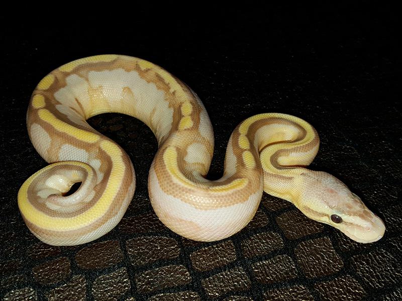Banana Genetic Stripe Lesser Pastel