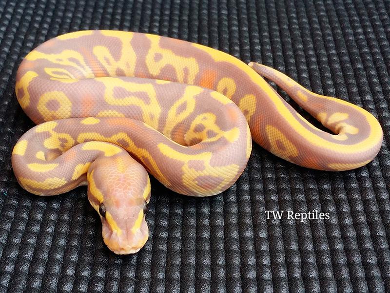 Banana Leopard Mojave