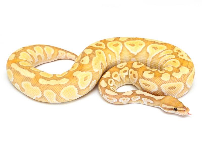 Banana Lesser