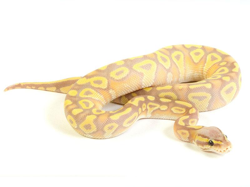 Banana Mojave Pastel