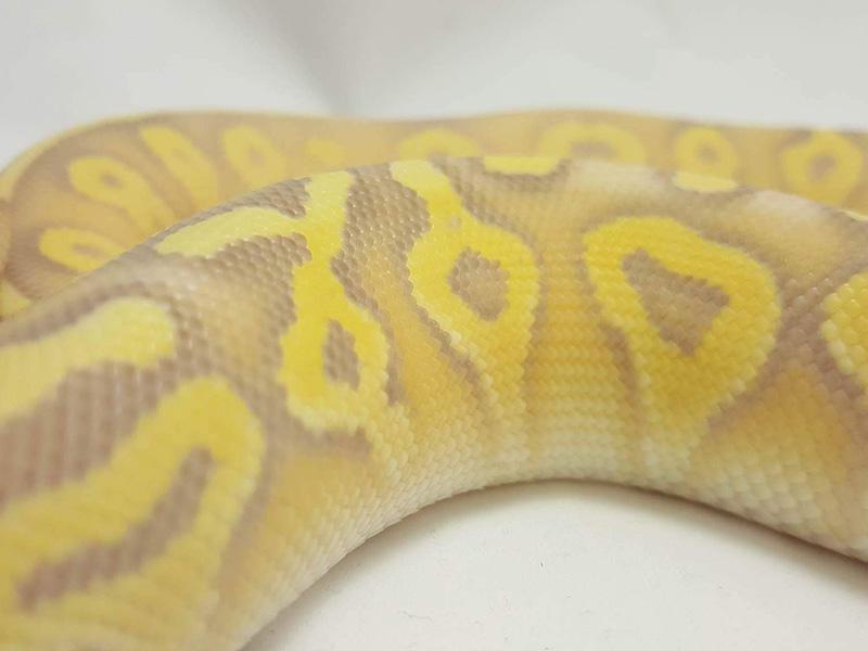 Banana Mojave Super Pastel