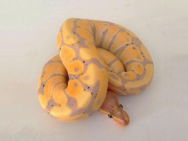 Banana Orange Dream Morph List World Of Ball Pythons