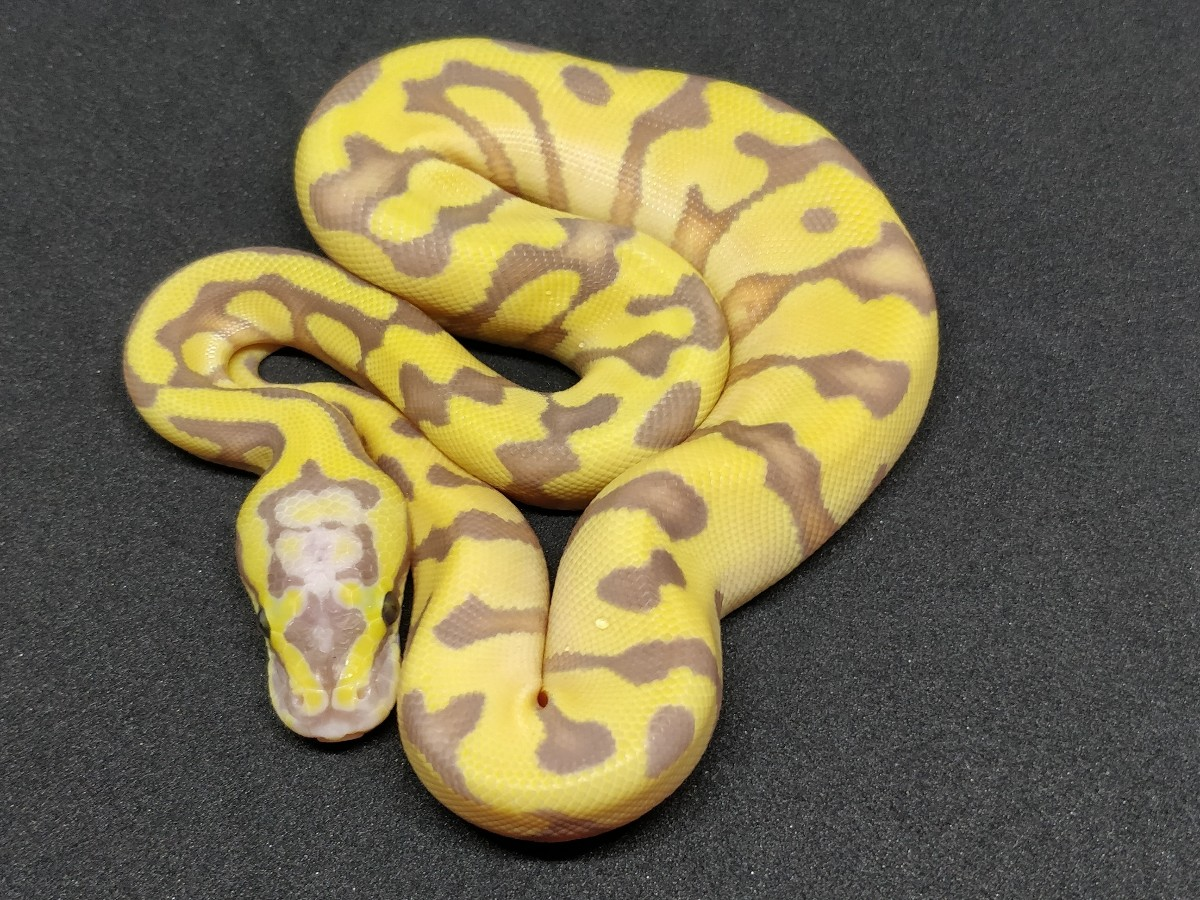 Banana Pastel Super Enchi