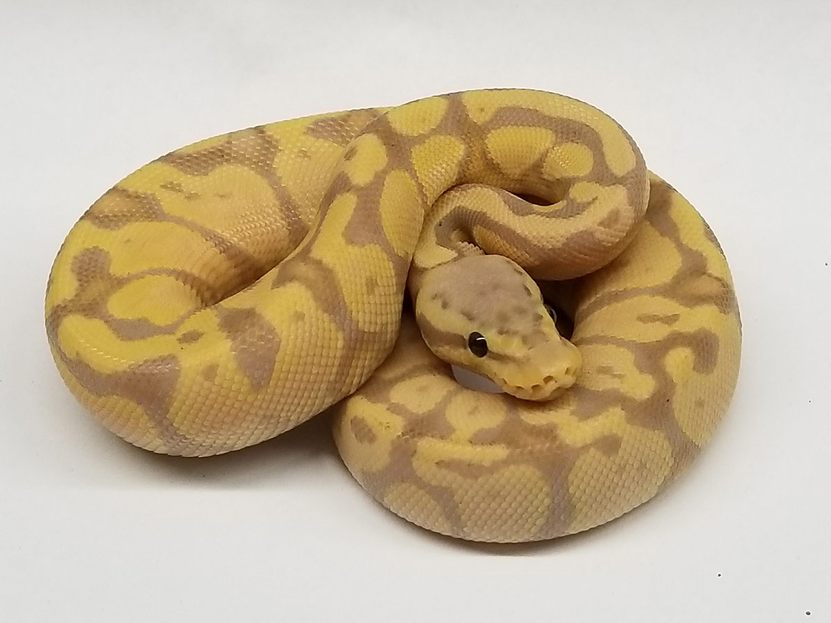 Banana Pastel Vanilla