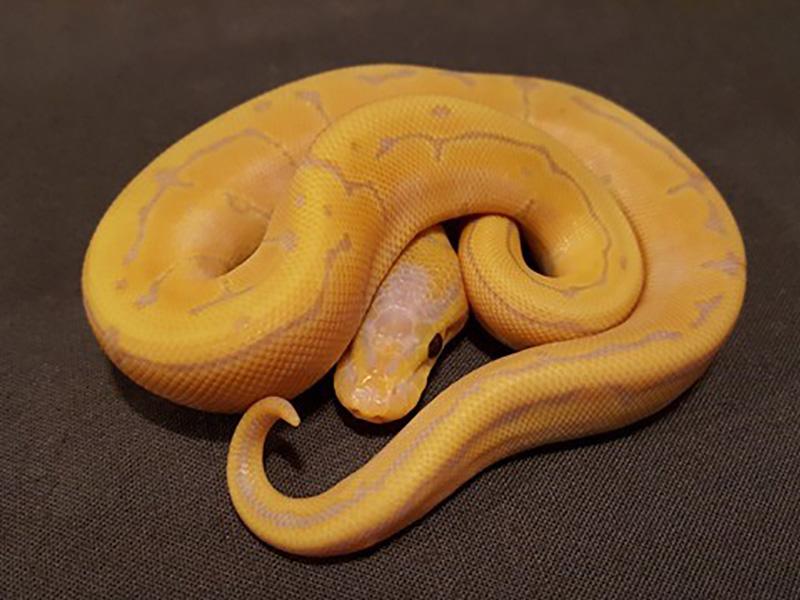 Banana Pinstripe Specter