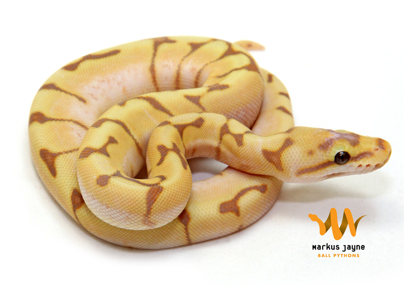 Banana spider ball python - photo#1
