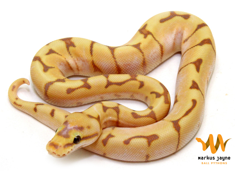 Banana spider ball python - photo#2