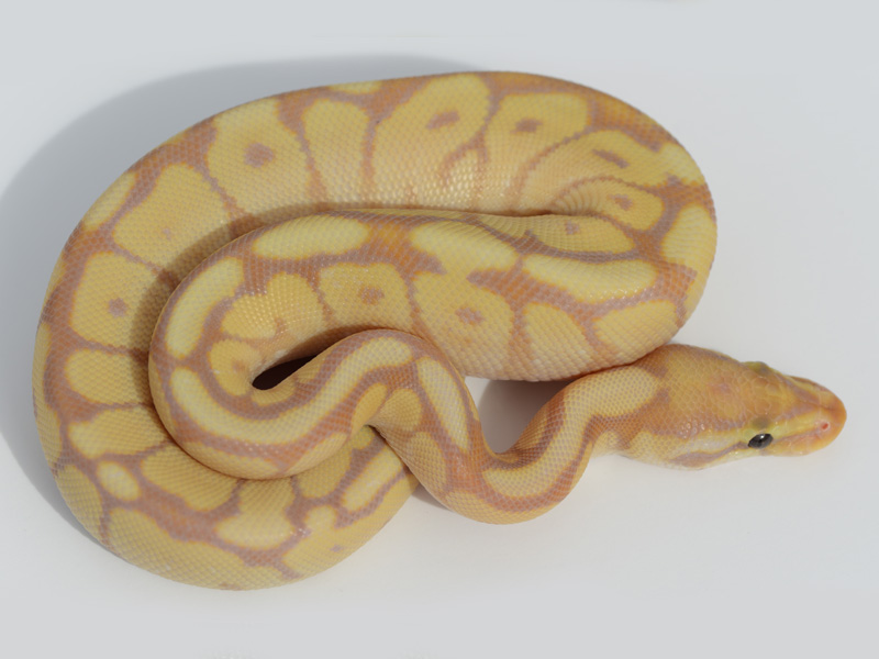 Banana spider ball python - photo#16