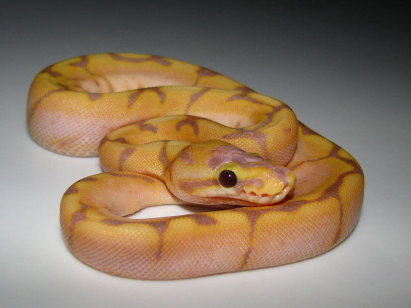 Banana spider ball python - photo#6
