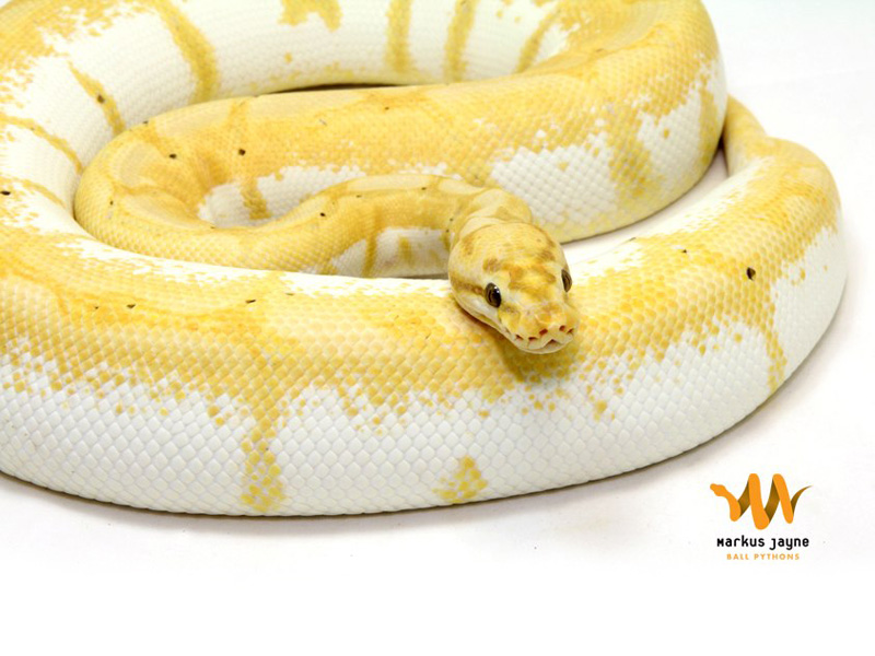 Banana spider ball python - photo#3