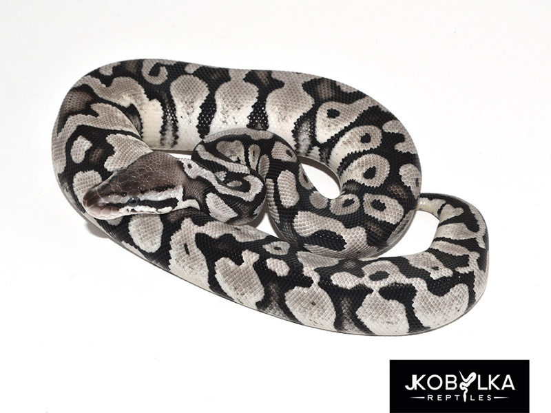 Black Axanthic Pastel - Morph List - World of Ball Pythons