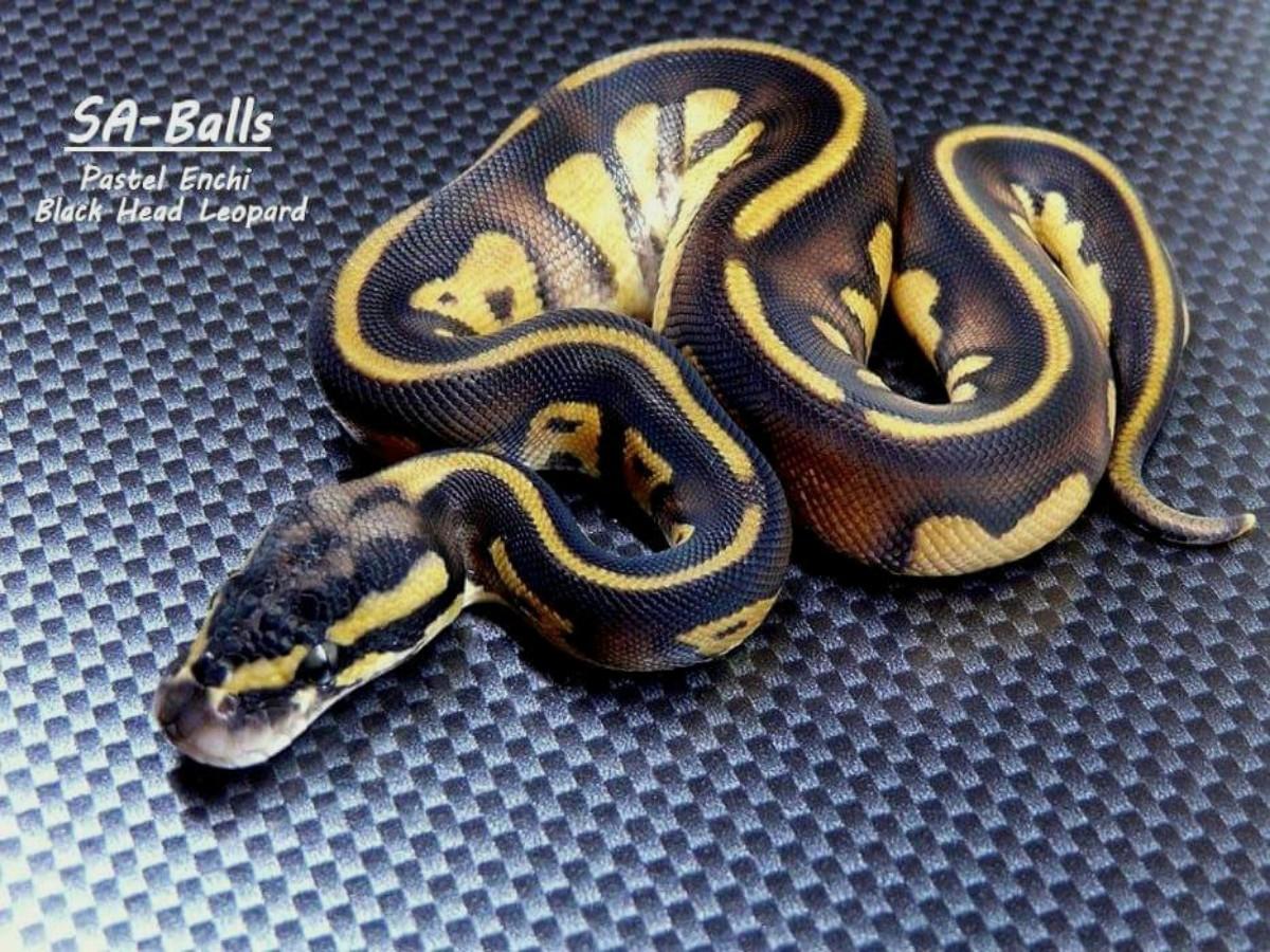 Black Head Enchi Leopard Pastel