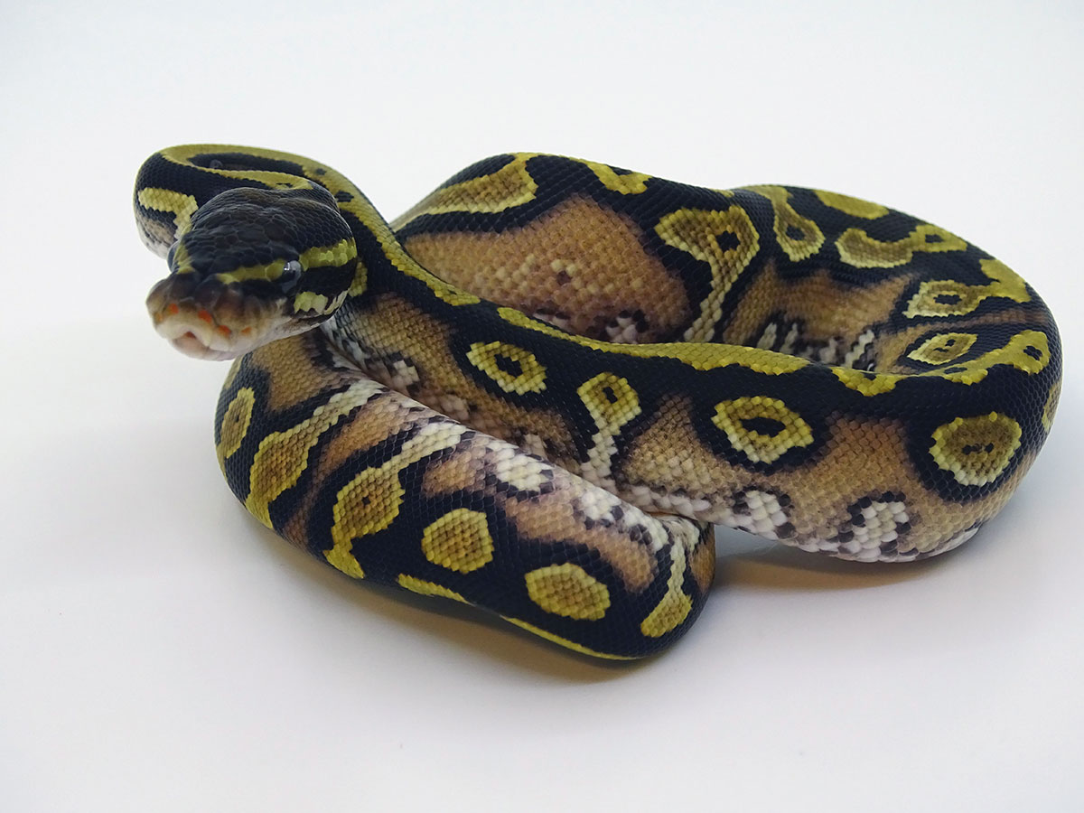 Black Head Granite Yellow Belly