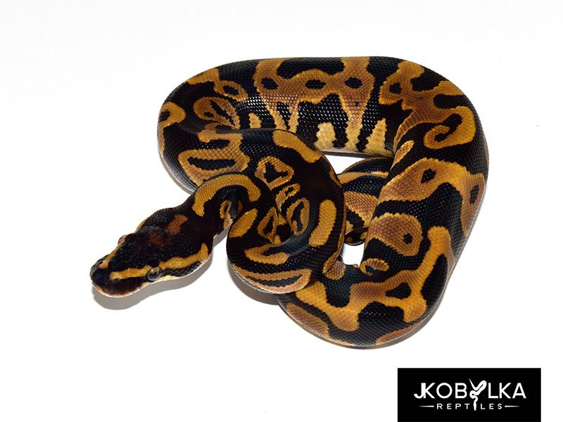 Black Head Leopard Spider