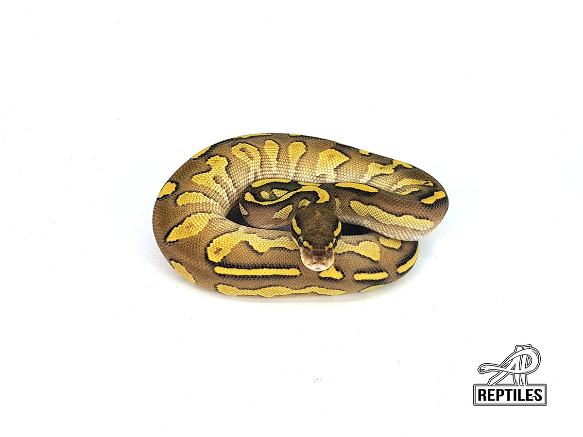 Black Head Lesser Red Gene Yellow Belly