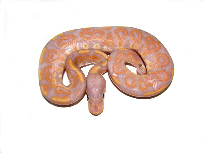 Black Pastel Banana Morph List World Of Ball Pythons