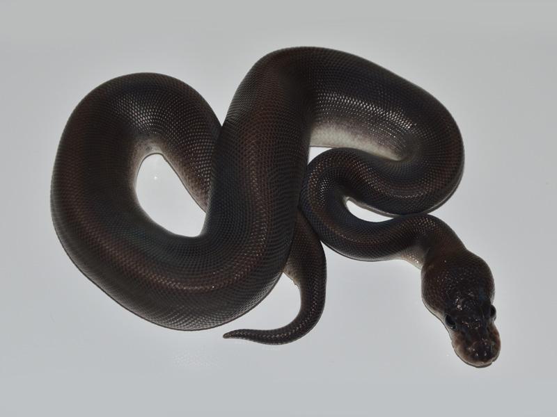 Black Pastel Cinnamon